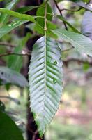 Sawtooth oak Stock photo [2102360] Beech