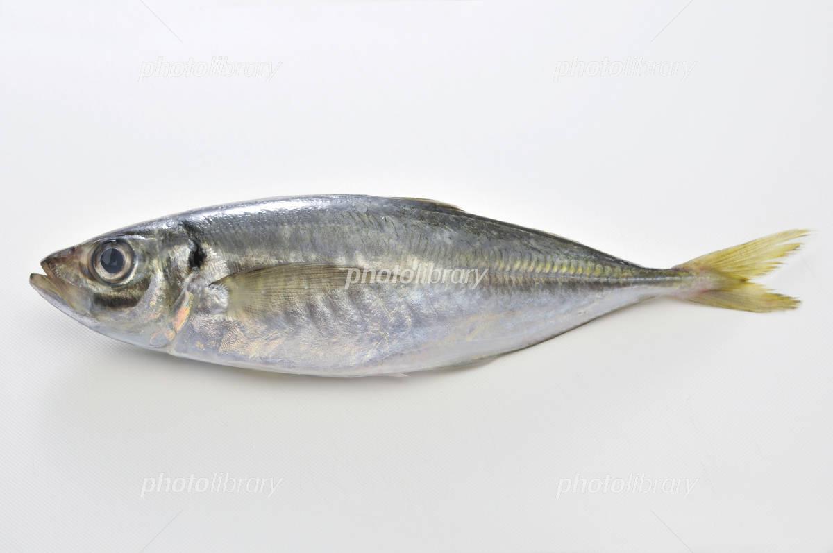 Horse mackerel white back Photo