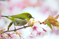 White-eye and cherry Stock photo [2199542] White-eye