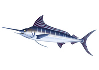 Marlin Marlin