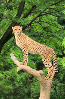 Cheetah on the tree Stock photo [2205728] Cheetah
