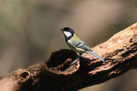 Great tit Stock photo [2206869] Animal