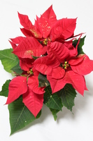 Glitter Poinsettia Stock photo [2208086] Glitter