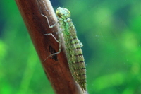 Dragonfly larvae of Anax parthenope Stock photo [2210049] Anax