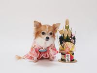 Chihuahua wearing a Kadomatsu and kimono Stock photo [2210539] Dogs