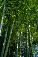 Bamboo forest Stock photo [2211083] Bamboo