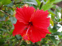 Hibiscus Stock photo [2213108] Hibiscus