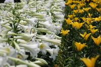 White lily Taiki lily Stock photo [2338566] White