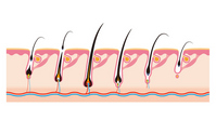 Life of the hair cycle hair [2338826] Hair