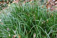 Acorus gramineus Stock photo [2339706] Araceae