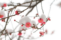plum snow was piled up Stock photo [2340112] Red