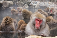 Jigokudani Monkey Park hot spring and the monkey Stock photo [2341872] APE