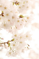 Cherry blossoms in full bloom Stock photo [2453244] Sakura
