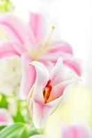 Pink lily Stock photo [2453782] Yuri