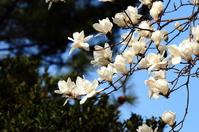 Magnolia Stock photo [2455773] Yulan