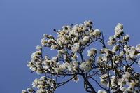 Magnolia and blue sky Stock photo [2457482] Magnolia