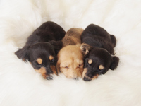 3 puppies sleeping Stock photo [2465664] Miniature