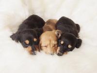 3 puppies sleeping Miniature