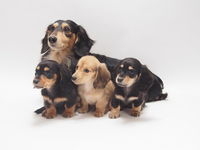 Parent-child miniature Dachshund Stock photo [2467185] Miniature