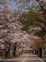 Cherry Tanigumi mountain Hwaeomsa approach Stock photo [2469245] Tanigumi