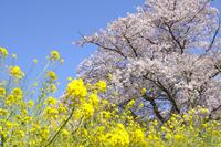 Cherry and rape blossoms Stock photo [2469357] Rape