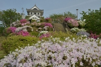 Azalea bloom Chiba Tateyama Castle Stock photo [2582363] Chiba