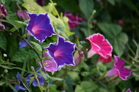Bellflower bloom of morning glory Stock photo [2586179] Morning