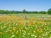 Poppy field of Showa Memorial Park Stock photo [2588123] Poppy