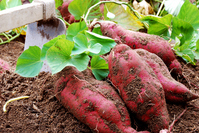 Sweet potato Stock photo [2588461] Sweet