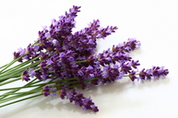 lavender flowers are in bloom Stock photo [2588866] Lavender