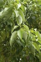 Cinnamon Stock photo [2593417] Lauraceae