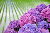 Rice fields and hydrangea Stock photo [2593708] Hydrangea
