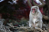 Japanese monkey Stock photo [2684078] APE