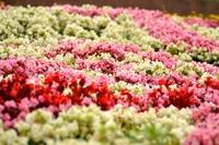 Begonia Stock photo [2686214] Flower