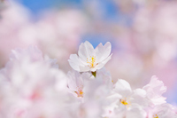 The cherry blossoms Stock photo [2687756] Cherry