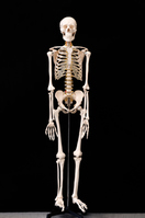 The skeletons Stock photo [2762428] Skeleton