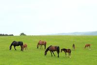 Horses eat the ranch pasture of Hokkaido Stock photo [2762809] Horse