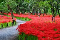 Amaryllis of Saitama, Hidaka purse fields Stock photo [2766011] Saitama
