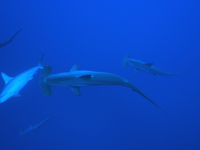 Flock of hammerhead shark Stock photo [2932195] Flock