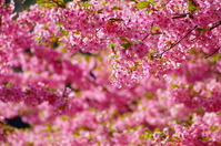 Kawazu cherry blossom Stock photo [2932484] Cherry