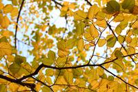 Autumn leaves of Oba linden Stock photo [2932856] Oba