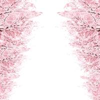 Sakura [2933468] Cherry