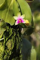 Sarawak Phalaenopsis Stock photo [2933480] phalaenopsis