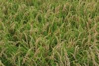 長野市柳原の稲