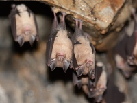 Least horseshoe bat stock photo