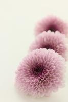 Chrysanthemum flower Stock photo [2935457] Chrysanthemum
