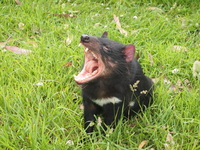 Tasmanian Devil Tasmania stock photo