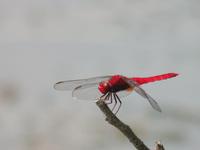 Of Scarlet Skimmer male Stock photo [2942204] Scarlet