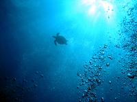 Izu Islands Hachijojima turtles swim the sea Stock photo [3017189] Turtle