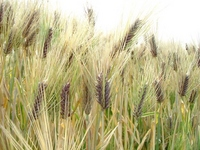 Ear of naked have wheat Stock photo [3017226] Naked